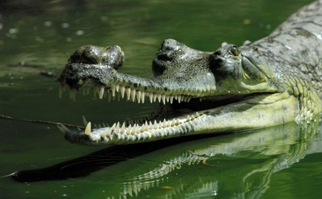 Image result for gharial
