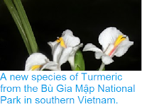 http://sciencythoughts.blogspot.co.uk/2013/09/a-new-species-of-turmeric-from-bu-gia.html