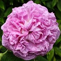 Ypsilanti (Rosa Gallica)
