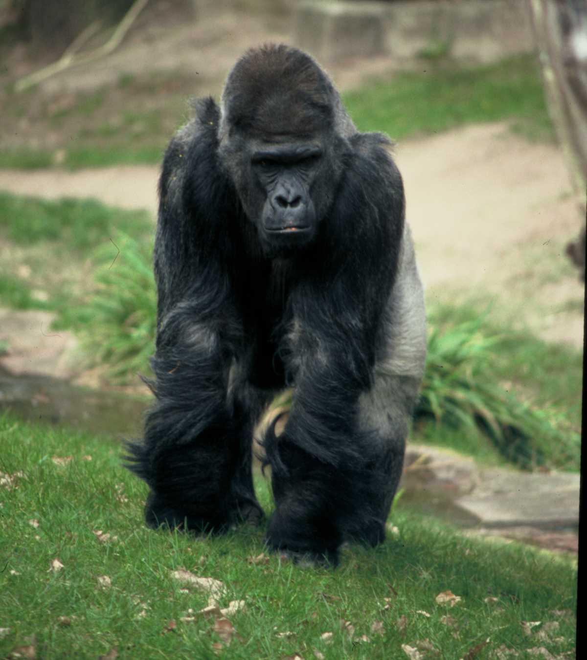 Gioco del gorilla