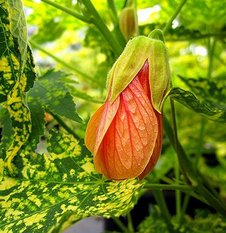 Abutilon PIctum 'Thompsonii' flower pics