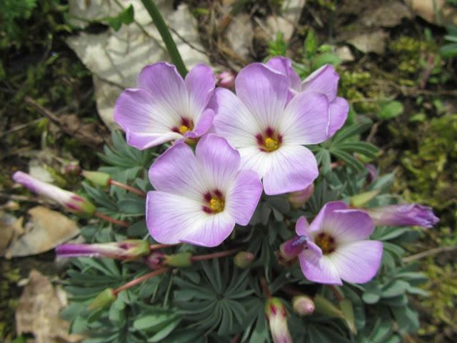 Oxalis adenophylla flowers