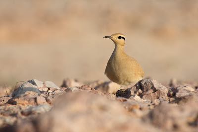 Cream-coloured courser, Socotra - S.Colenutt, The Deskbound Birder