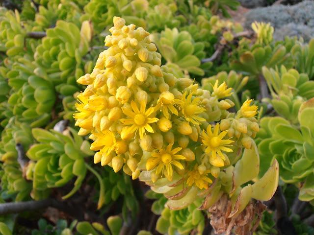 SIEMPREVIVA ARBÓREA: Aeonium arboreum