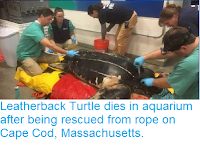 http://sciencythoughts.blogspot.com/2018/11/leatherback-turtle-dies-in-aquarium.html
