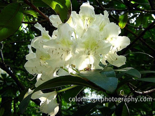 White Rhododendron flower picture