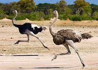 Koşan erkek ve dişi deve kuşları