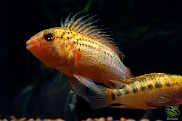 A. guttata アピストグラマ飼育方法