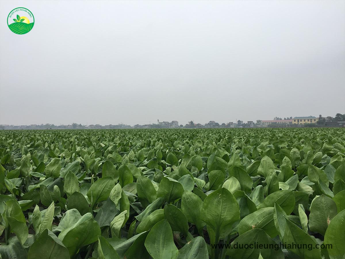 Bạt ngàn cánh đồng trạch tả ở vùng dược liệu Ninh Bình