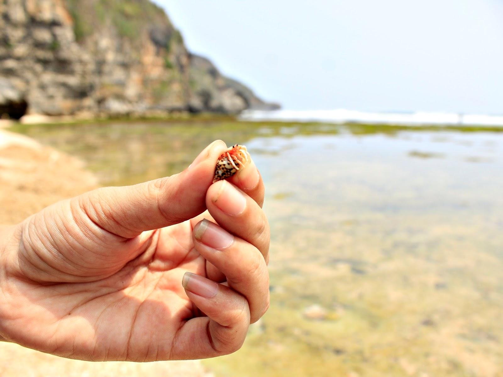 umang-umang kelomang pong-pongan pantai ngrumput gunungkidul yogyakarta