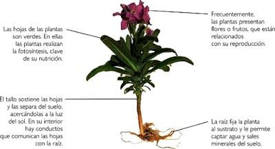 Imagen de planta indicando sus partes y una breve descripción