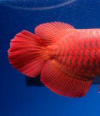 5 Tips Cara Memilih Ikan Arwana Super Red Anakan Yang Bagus