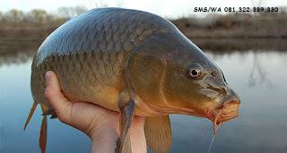 Rahasia Umpan Pelet Serbuk Ikan Mas