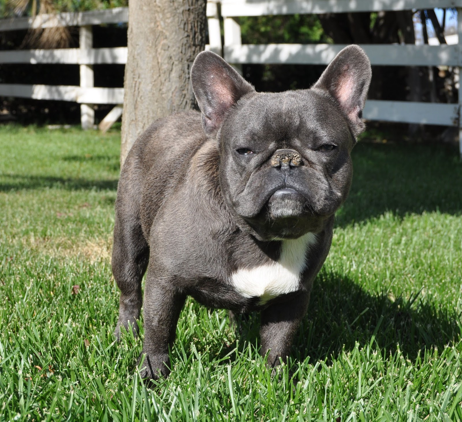 french bulldog adoption ma dog breeds in the world 5642