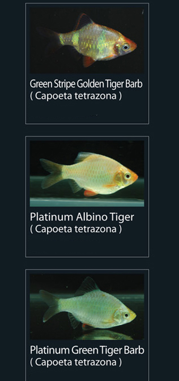 Ikan Tiger Barb Betina