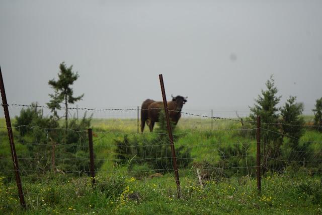 פרה במאגר עורבים