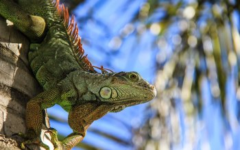 Wallpaper: Iguana Portrait