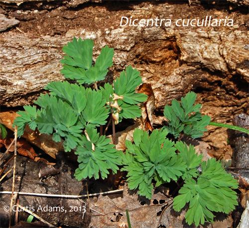 Maryland Native Plants: Native Plants With Adams Garden: Spring Wildflowers: Texas