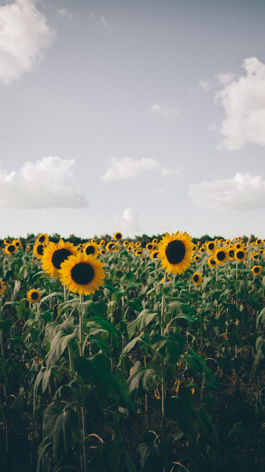 Sunflowers wallpaper android