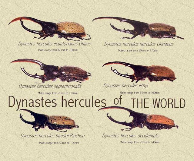 O fantástico e colossal, Besouro Hércules! - Queimando Neurônios