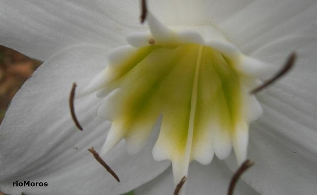 Flor de LIRIO DEL AMAZONAS Eucharis x grandiflora