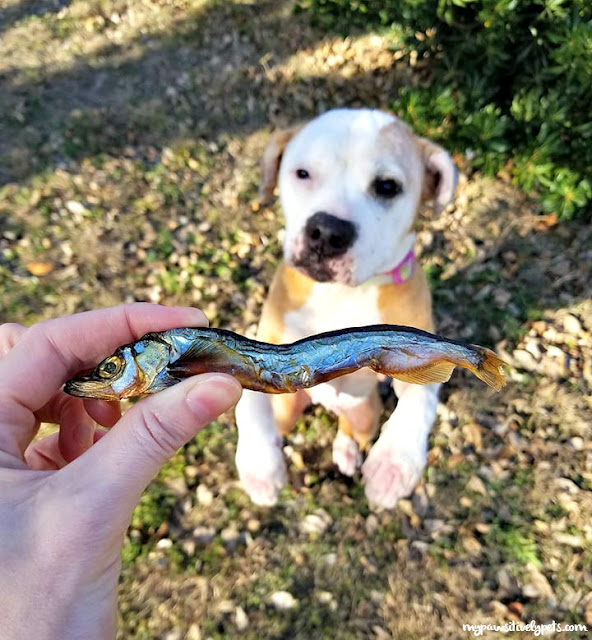 Single Ingredient Fish Dog Treats. One ingredient - that's it! Icelandic Capelin is air-dried just as the Vikings did in 900 A.D. This is wonderful for dogs with allergies.
