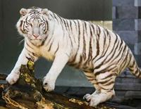 Mumbai's Last Captive White Tiger Dies At 18