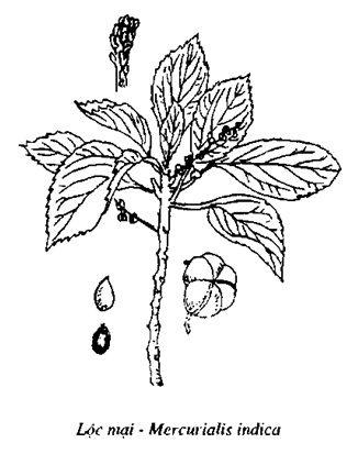 Hình vẽ Lộc Mại - Mercurialis indica - Nguyên liệu làm thuốc Nhuận Tràng và Tẩy