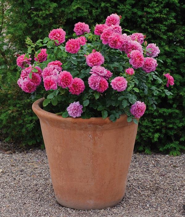 "rosal ""Princess Anne"" de David Austin"