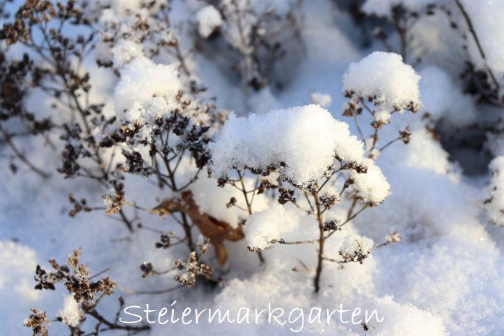 Oregano-im-Schnee-Steiermarkgarten