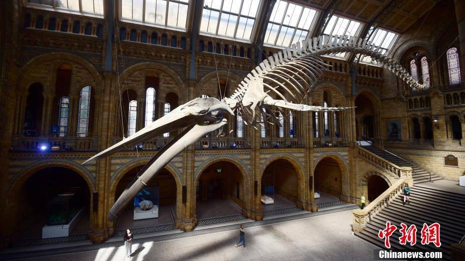 Rare blue whale skeleton unveiled at UK's Natural History Museum