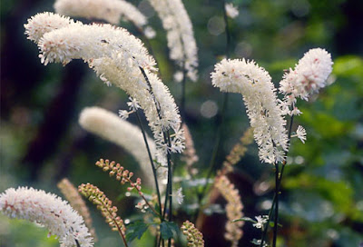 Cautions and side effects of Black Cohosh