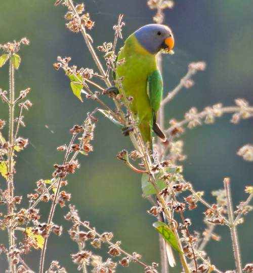 Indian birds - Image of Plum-headed parakeet female - Psittacula cyanocephala