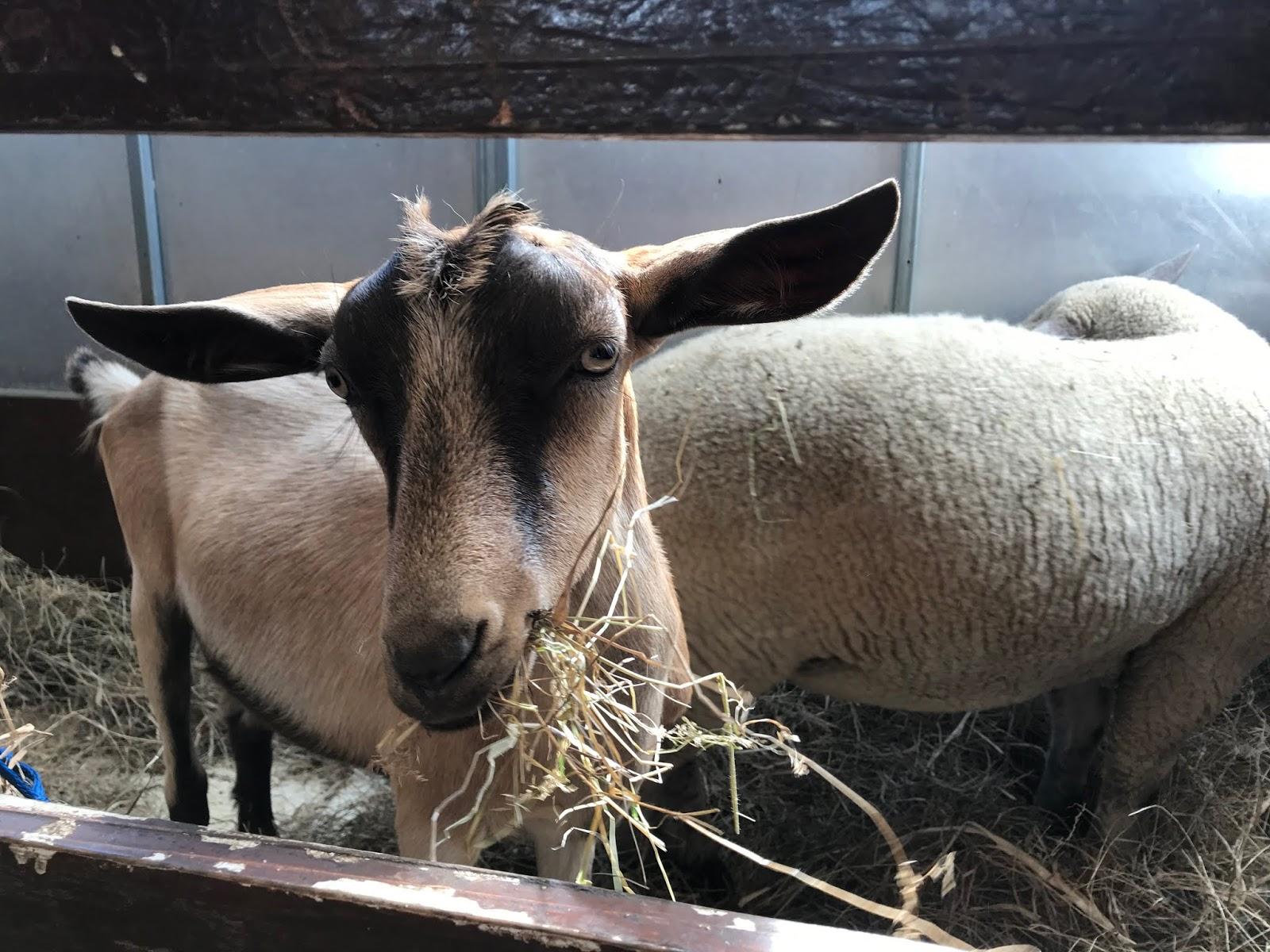 Birthday Party Animals - Goat