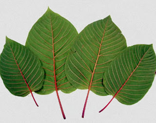 Kratom leaves of varying sizes how long does kratom stay in your system images
