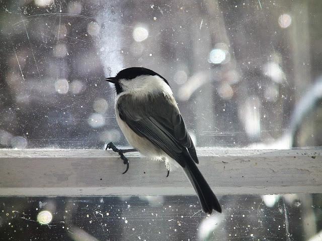 lintu kuistin ikkunalla,  marraskuu, hömötiainen,