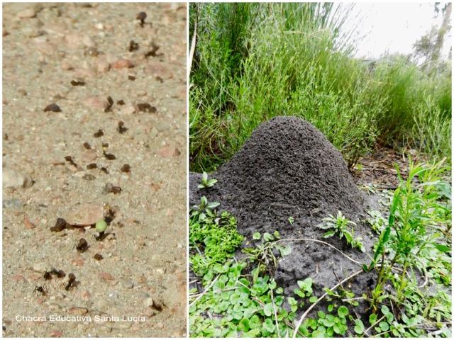 Camino de hormigas y hormiguero de tierra - Chacra Educativa Santa Lucía