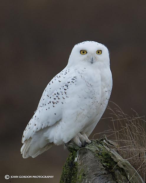 John Gordon Listening Birds Snowy Owls Terms