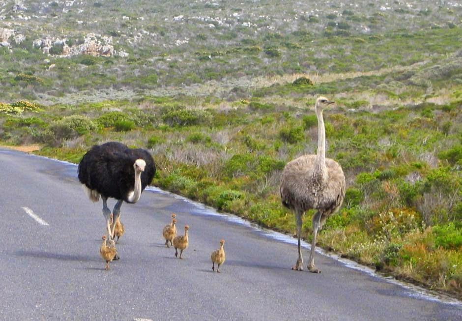 avestruz Struthio camelus