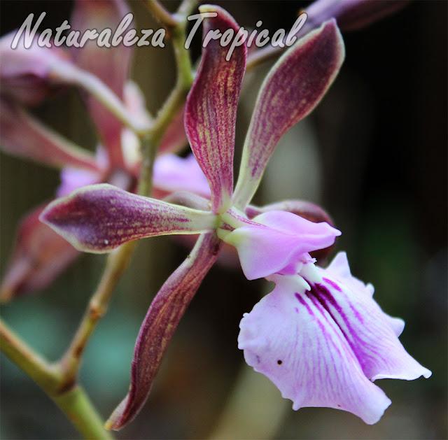 Orquídea epífita endémica de Cuba con un fuerte olor a chocolate (sus flores) en horas de la mañana. Llamada popularmente como Orquídea de Chocolate. Encyclia phoenicea.