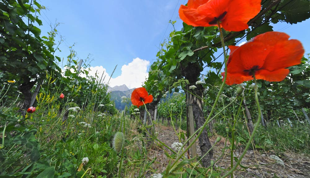 Francisca Obrecht über die Bündner Bio-Vision 2020: «Wir wollen das Genussmittel Wein nachhaltig produzieren»