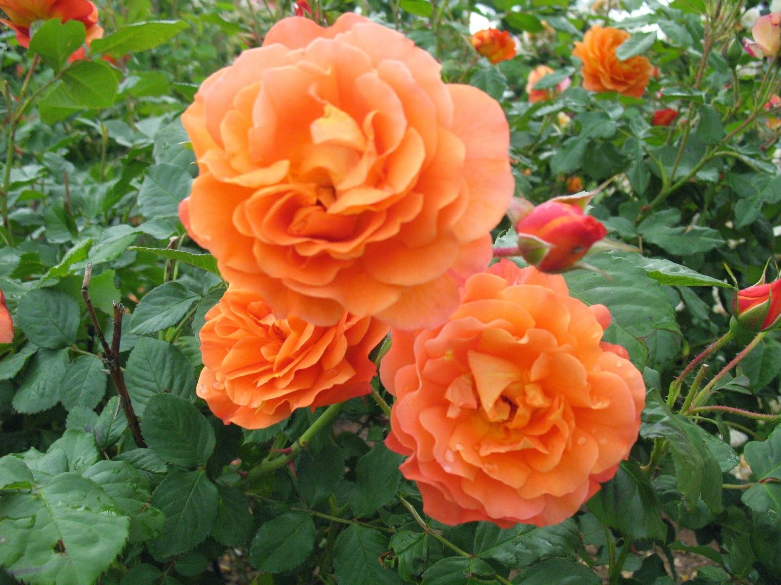 roses du jardin ch neland rosier westerland. Black Bedroom Furniture Sets. Home Design Ideas