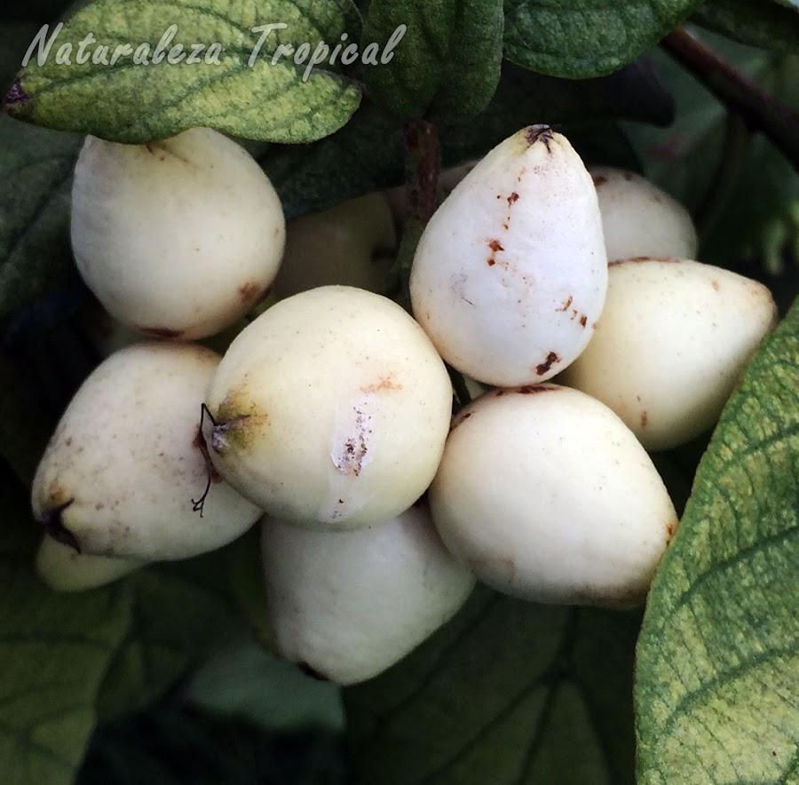 Frutos maduros del Árbol o Arbusto Nomeolvides, Cordia sebestena