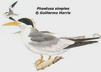 Charrán picudo: Phaetusa simplex