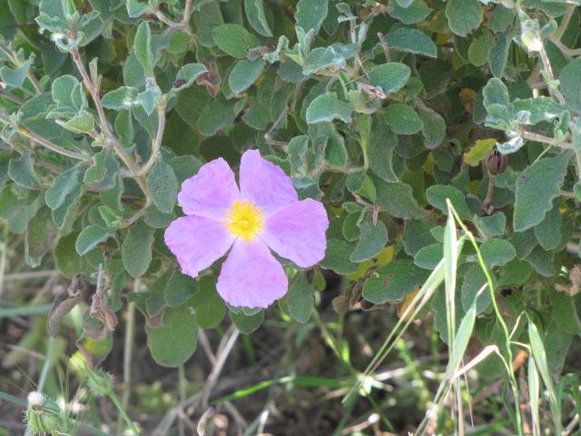 פרח בנחל כפירה