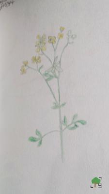 zielnik, rysunki roślin, botanika, biologia, natura, żółte kwiaty