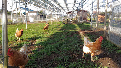 Free range chickens on a solar sharing farm, Tsukuba, Japan