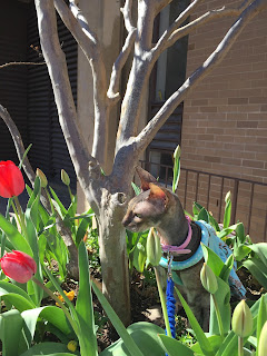 Kely the Cornish Rex with tulips
