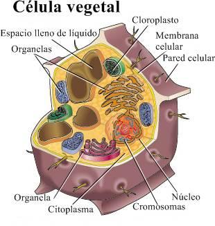Célula vegetal Las células vegetales