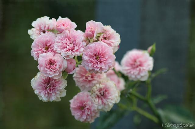 rose petit bonheur rosier grimpant petites fleurs